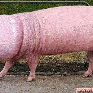 Penisschwein